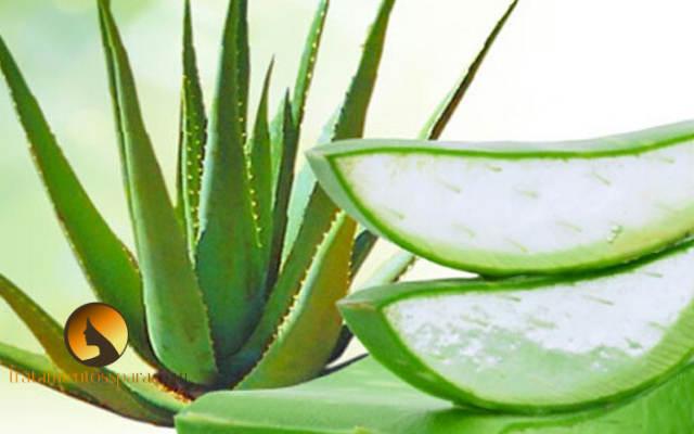 crema de aloe vera y albahaca para alergias