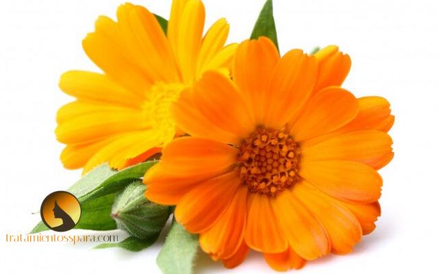 planta calendula para tratar fibrosis de mama